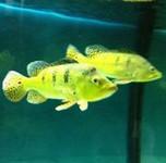 巴西亚鱼的习性介绍和饲养方法 - 每天一种热带鱼系列 详解如何区别皇冠三间、巴西亚、帝王三间?