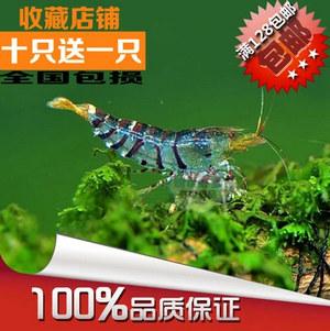 翡翠虎纹虾-部分蓝体-宠物虾-观赏虾-工具虾-草缸虾活体