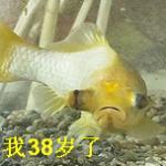 一条金鱼38岁,你信吗?有位英国老人养了它38年 养鱼先养水是硬道理
