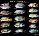 美洲慈鲷-天使与魔鬼(观赏鱼简介) 附两种野生菠萝鱼介绍