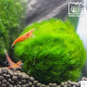 百草园水族馆 绿藻球水藻球海藻球 鱼缸造景水族箱造景 水草