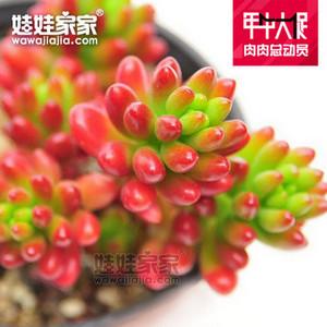 娃娃家家韩国进口的多肉植物-虹之玉,目前较绿-慎购
