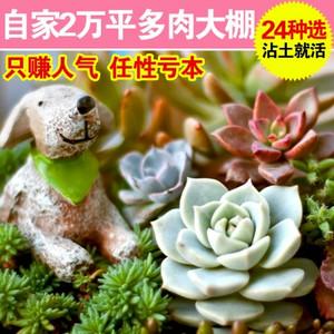 24种多肉植物批发,组合盆栽微景观,生石花、情人泪、黄丽、虹之玉……