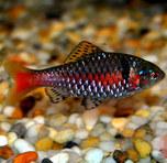 钻石彩虹鲫-美如钻石的冷门鱼在鱼市难觅踪影 另一种小型泰国鲫