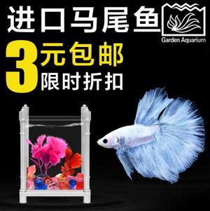 泰国斗鱼-马尾狮王、半月(热带鱼-观赏鱼活体宠物)
