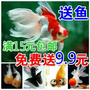 金鱼活体鱼苗-观赏鱼冷水鱼:蝶尾、鹤顶红、泰狮、兰寿、鎏金…