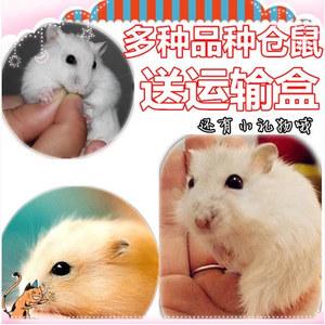 超萌的仓鼠宝宝:布丁/银狐/三线/紫仓,小宠物仓鼠活体,可选情侣鼠,送礼包