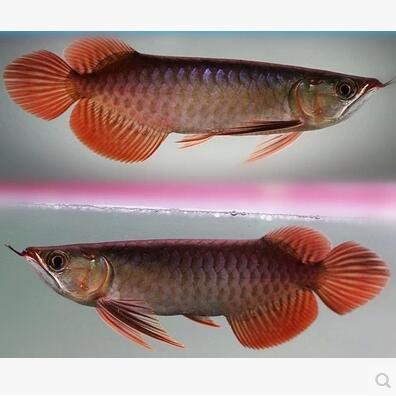 新加坡红龙鱼号半-红龙龙鱼-热带观赏鱼活体批发