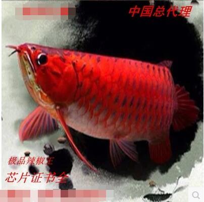 红龙鱼:赛级红龙、极品辣椒王、超血红龙
