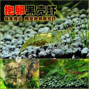 抱卵黑壳虾,独家推出,限量,人工繁殖非野生,除藻草虾米虾