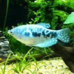 蓝、黄曼龙鱼的习性介绍和饲养方法 曼龙鱼-最好养最耐活的热带鱼