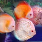 养好七彩神仙鱼所必须的水质和养水方法 养七彩该怎么养水?