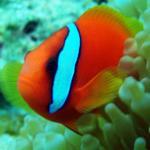 红小丑鱼的习性和选购、饲养方法介绍 海水鱼水族箱中造景的首选鱼种