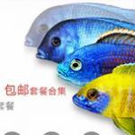 三湖之马拉维湖慈鲷的选购、混养和鱼缸布置方法 马鲷选购鱼友自选合集评语