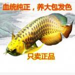 谈龙鱼与风水之间的关系 风水的本意是保留好的运式,避免不好的灾祸