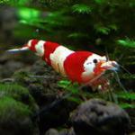 水晶虾饲养者常见问题Q&A 希望对大家在饲养水晶虾上能有帮助