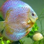 七彩神仙鱼的稚幼鱼常见病汇总 刚出生不久的小七彩神仙鱼易患鱼病症状、预防及治疗方法