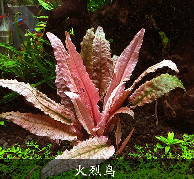 火烈鸟-椒草皇后-最宠网