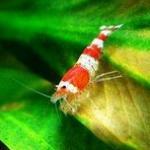 如何养好水晶虾?养好水晶虾必备的三要素:水质、温度、虾粮 水晶虾饲养经验分享