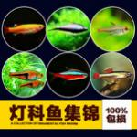 资深鱼友分享,灯科鱼日常患病及其处理手段灯科鱼