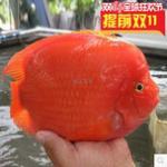 饲养鹦鹉鱼的心得体会 (红鹦鹉、血鹦鹉、元宝鹦鹉、金刚鹦鹉) 如何挑选鹦鹉鱼?鹦鹉鱼饲养经验交流