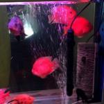 血鹦鹉鱼饲养需要注意的饲料和充氧问题 血鹦鹉鱼的饲养管理