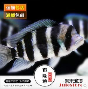 布隆迪六间鱼F1-观赏鱼特价包活
