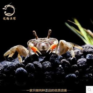 吃涡虫的迷你辣椒蟹,淡水宠物螃蟹