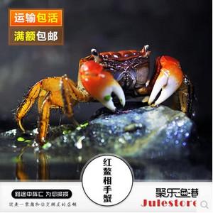 红螯相手蟹也是吃涡虫的好手