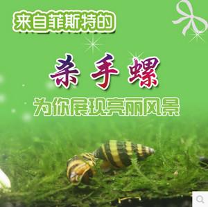 杀手螺也叫蜜蜂宝塔螺,吃涡虫能手