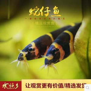 蛇仔鱼兼具观赏与涡虫杀手工具鱼