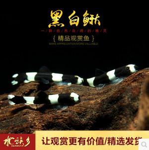 熊猫鳅会吃线虫水螅涡虫,也叫黑白鳅