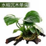 水族箱中较好养的一种水草:水榕类水草介绍和养殖方法 适合初学者养的水草