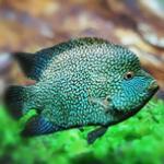 南美食土鲷之绿巨人 每天一种热带鱼慈鲷系列