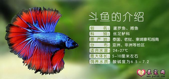 泰国斗鱼该如何分公母?泰国斗鱼品种好养吗