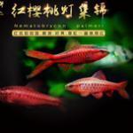 樱桃灯鱼-水晶般闪烁的跃动精灵 每天一种热带鱼系列 樱桃灯鱼与玫瑰鲫的区别