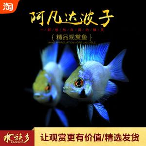 能和小型鱼虾混养的慈鲷鱼:荷兰凤凰球鱼-阿凡达波子