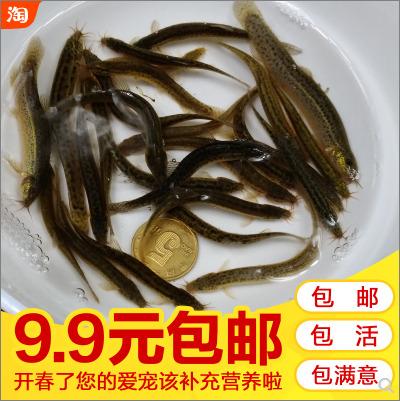 泥鳅活体饲料,开春了您的爱鱼该补充营养啦