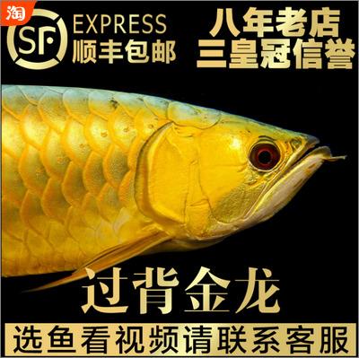 24K金头过背金龙鱼,选鱼看视频