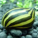 除藻能手——斑马螺的习性特点介绍  附斑马螺的繁殖方法
