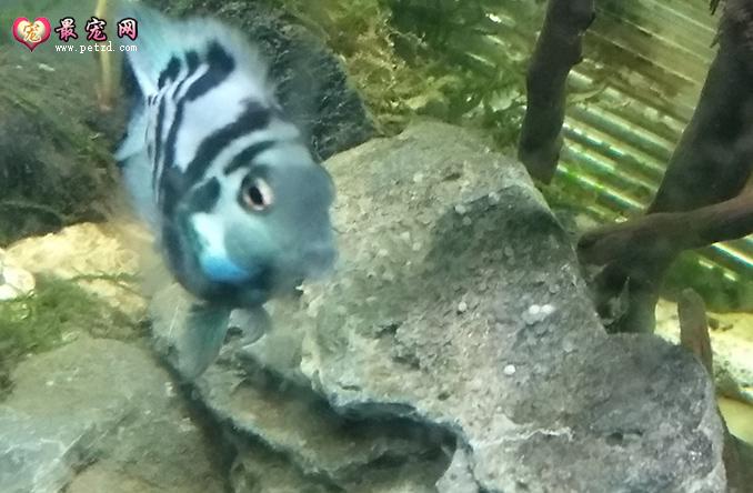 短鲷亲鱼分缸