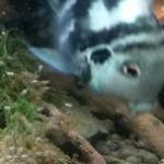 迷你鹦鹉鱼繁殖方法及全过程记录 轻松转移新生幼鱼到新鱼缸的方法