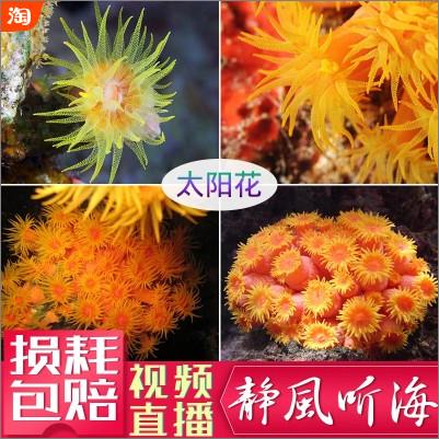 太阳花NPS类珊瑚