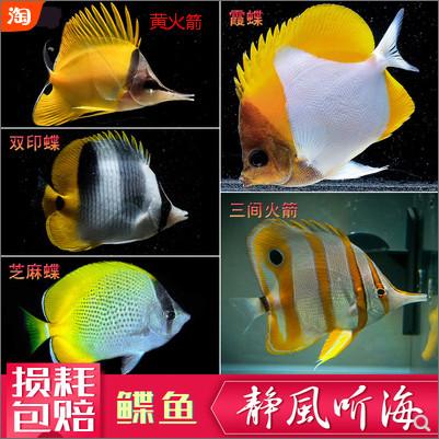 饲养爱好者喜欢把各种品种不同的鲽鱼收集在一起饲养,十分具有观赏性