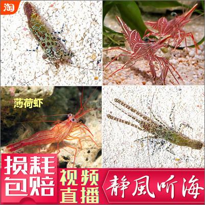 薄荷虾是一种用来清除垃圾葵非常有效的生物,并且非常容易饲养