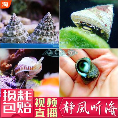 吃藻的食藻螺、牛眼螺