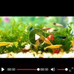水晶虾的常见疾病及治疗方法 观赏虾为什么总死?
