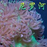 尼罗河珊瑚习性特点及饲养方法 海水缸珊瑚品种介绍
