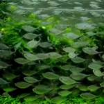 黑尾大勾鱼的习性特点和饲养方法 群游壮观的灯科鱼
