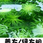 绿太阳水草(普太)怎么养-太阳类种植特点和造景方法 养好=高强光+二氧化碳+适量肥料